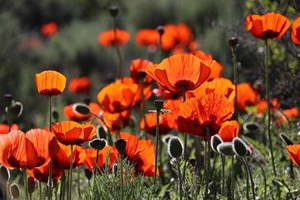 'Remember from Home' this Remembrance Sunday and Armistice Day (1)